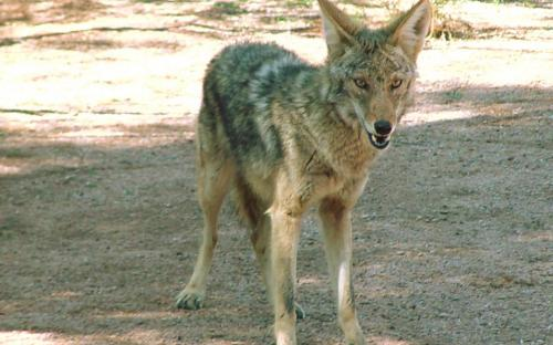 Coyote, (This one happened to have been a vegetarian)