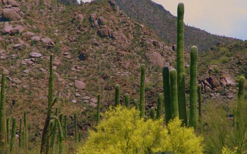 Sonoran Desert Hillside