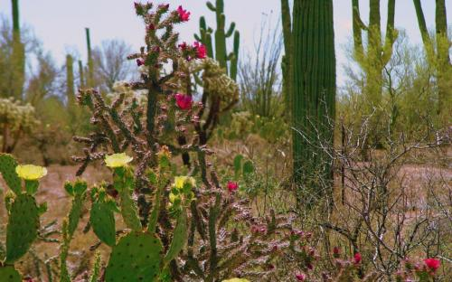 Red cholla and yellow prickly pear flowers