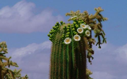 Late spring and early summer Saguaro blooms