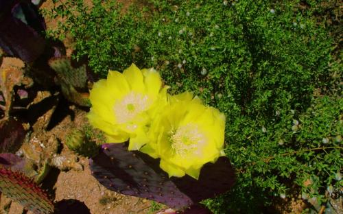 beavertail cactus bloom